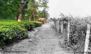 Asian Elephant in Tea Garden