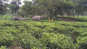 Asian Elephants in Tea Garden _ Human Elephant Conflict