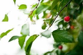 Outback Cherry Preserves   Tart Cherries, Strawberries, & Spicebush Berries   Spicebush   The Welsh Hills Inn